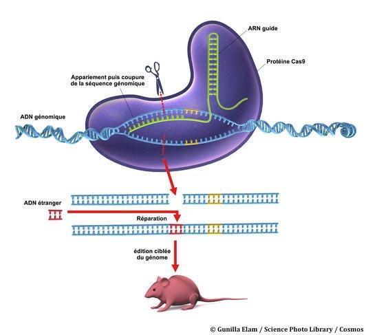 Công Nghệ CRISPR-Cas9 Mới Đảo Ngược Bệnh Di Truyền Trên Chuột